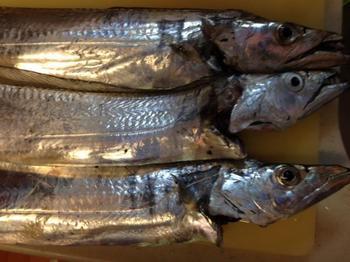 1108太刀魚.JPG