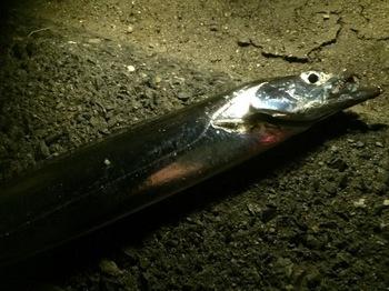 2015太刀魚.jpg